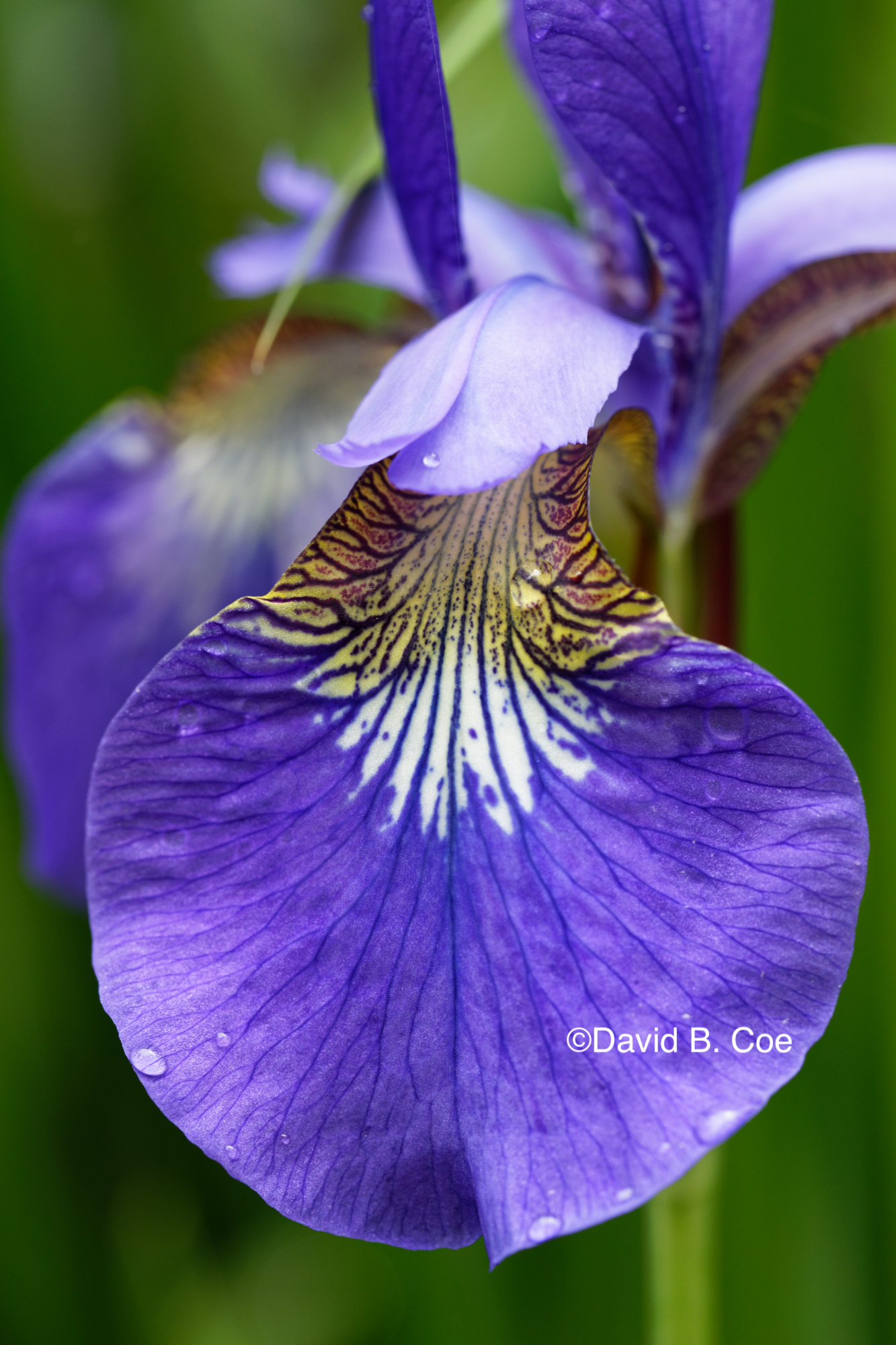 Japanese Iris I, by David B. Coe