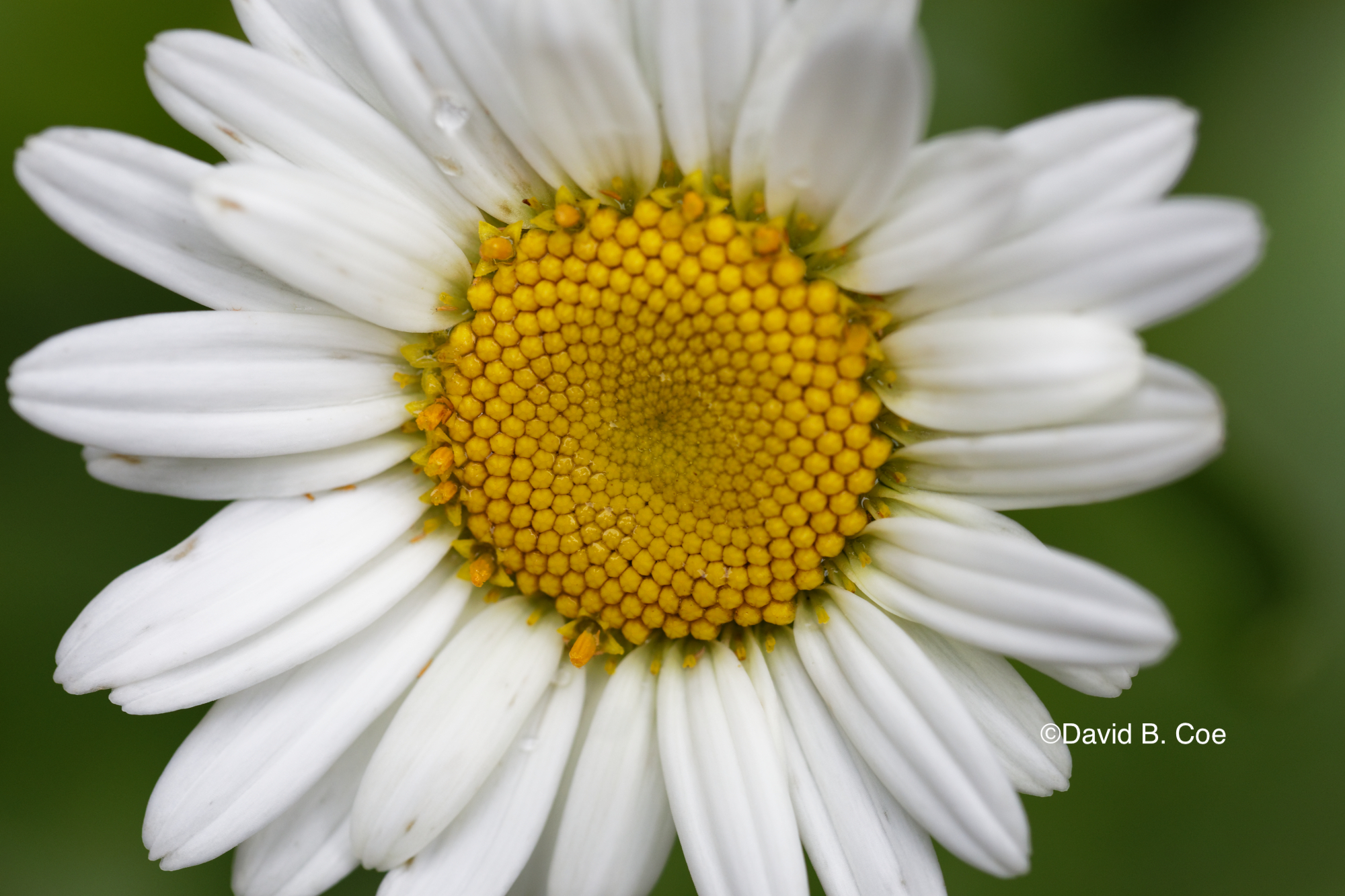 Daisy After Rain, by David B. Coe