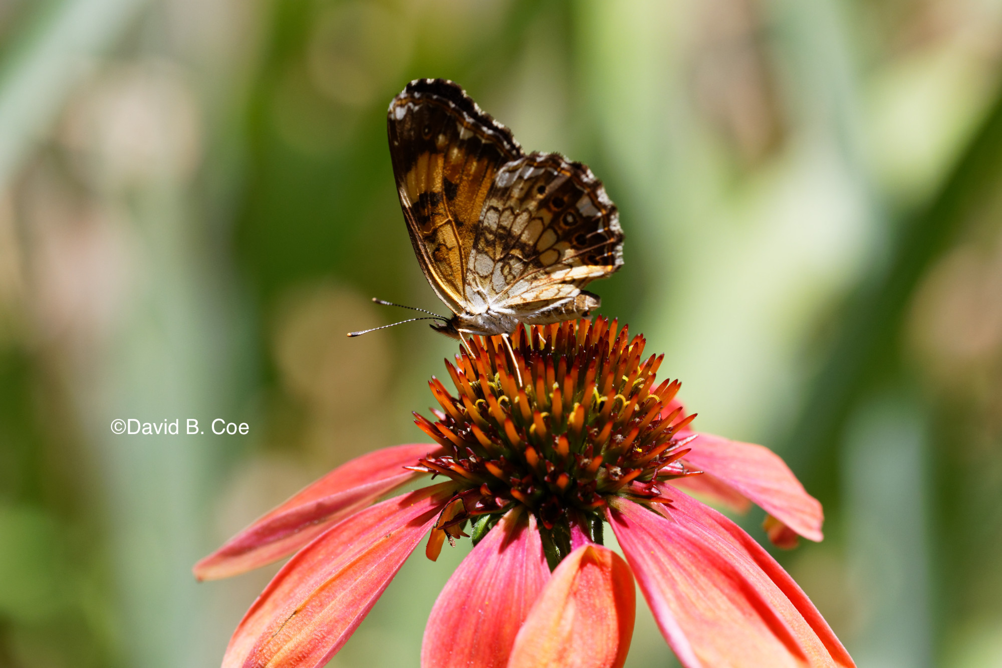 Silvery Checkerspot II, by David B. Coe