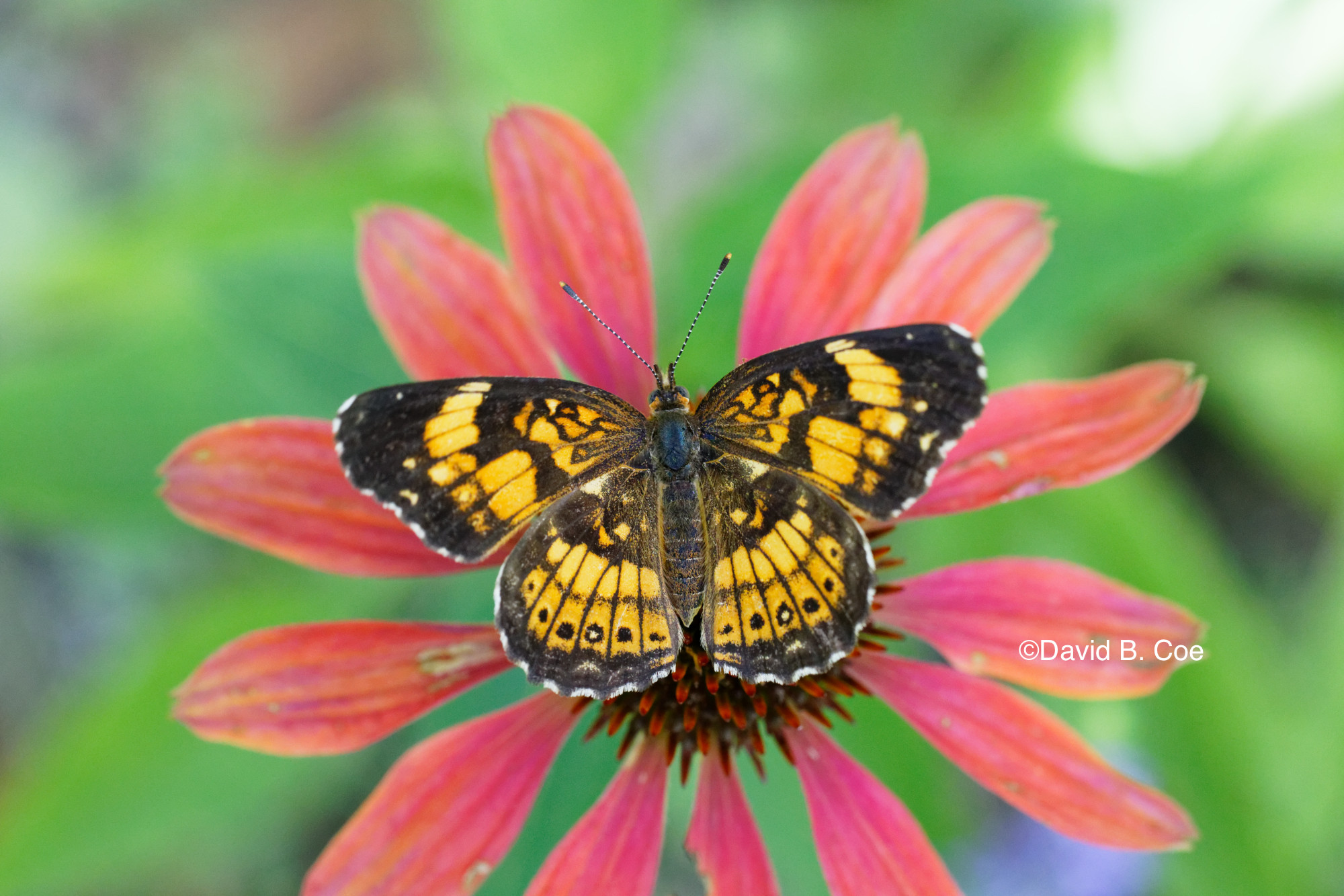 Silvery Checkerspot I, by David B. Coe