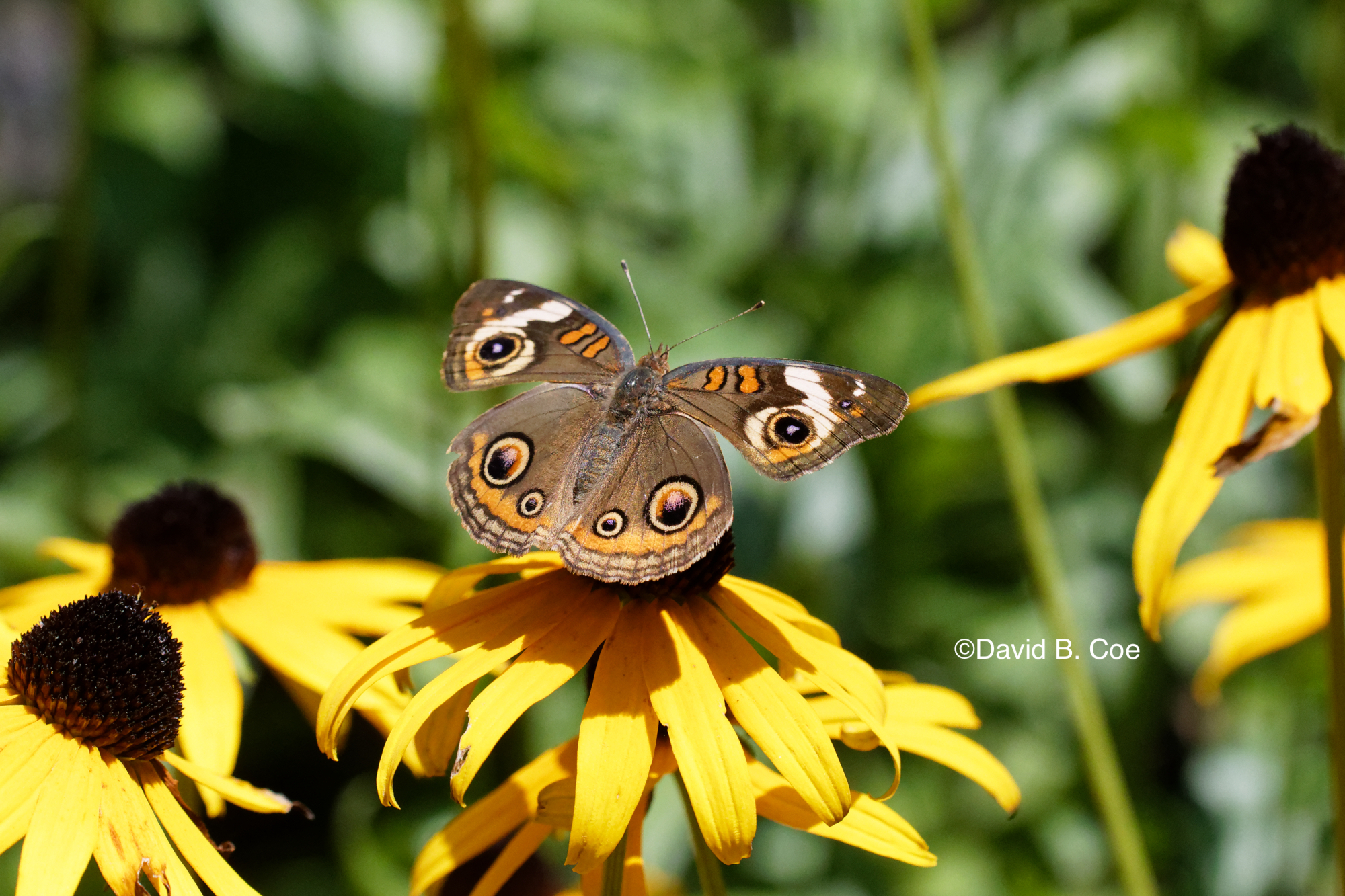 Common Buckeye, by David B. Coe