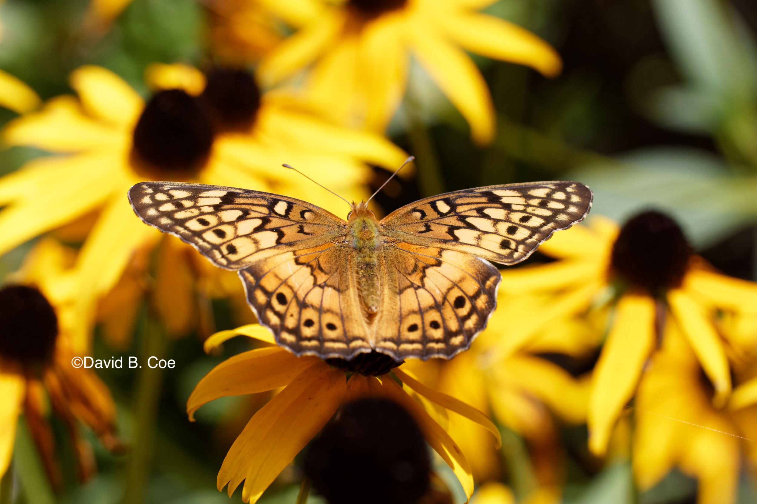 Variegated Fritillary, by David B. Coe