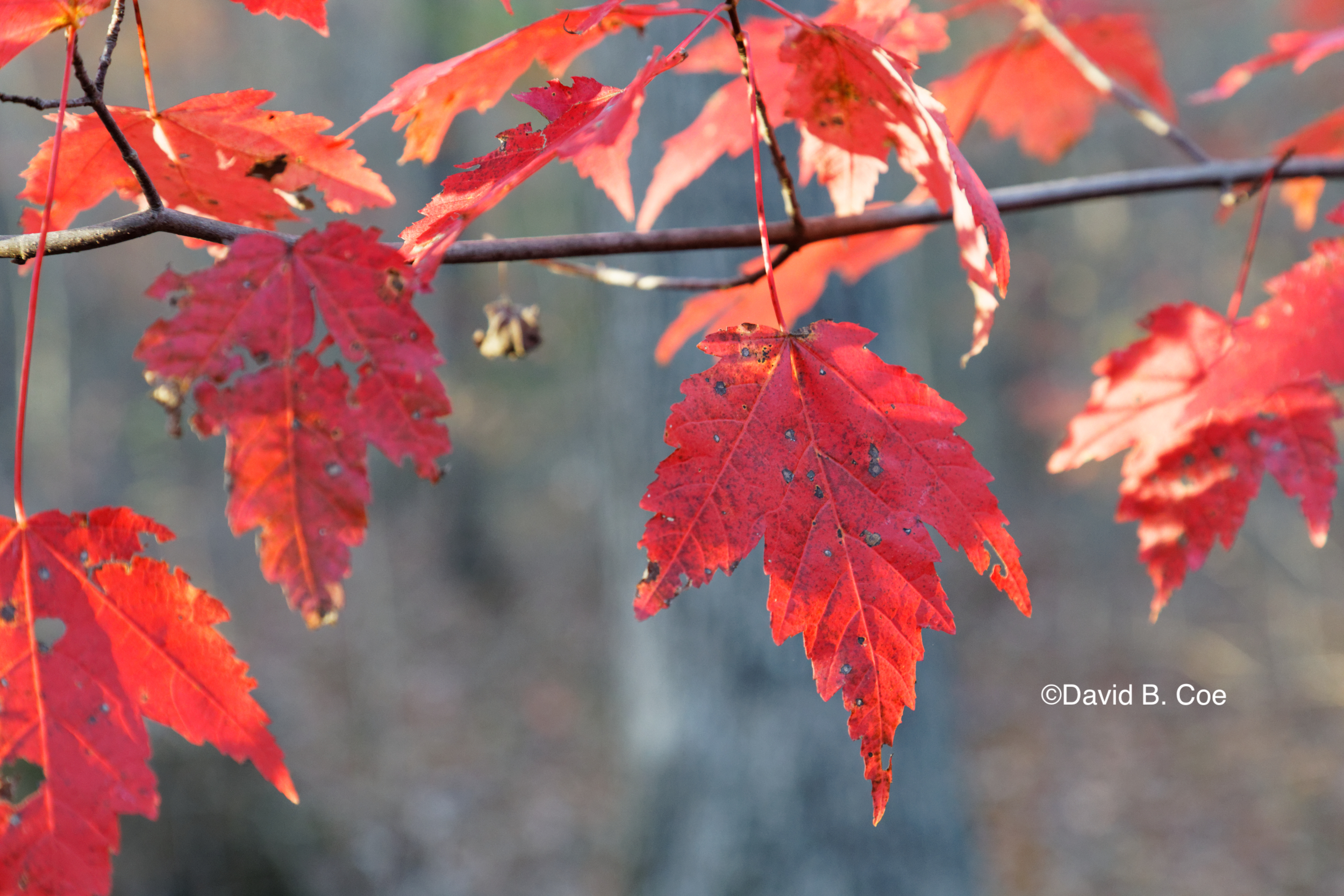 Red Maple, Fall, by David B. Coe