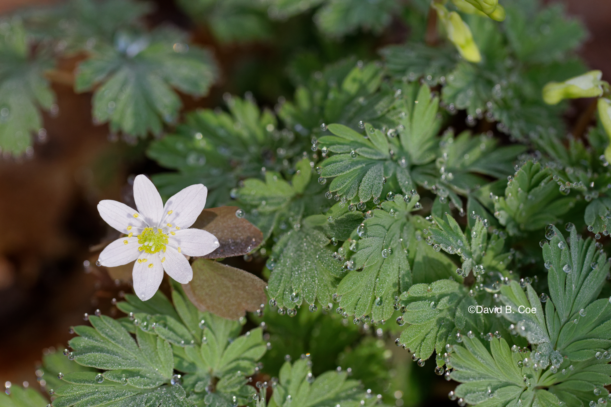 Raindrops on Rue Anenome and Dutchman's Breeches, by David B. Coe