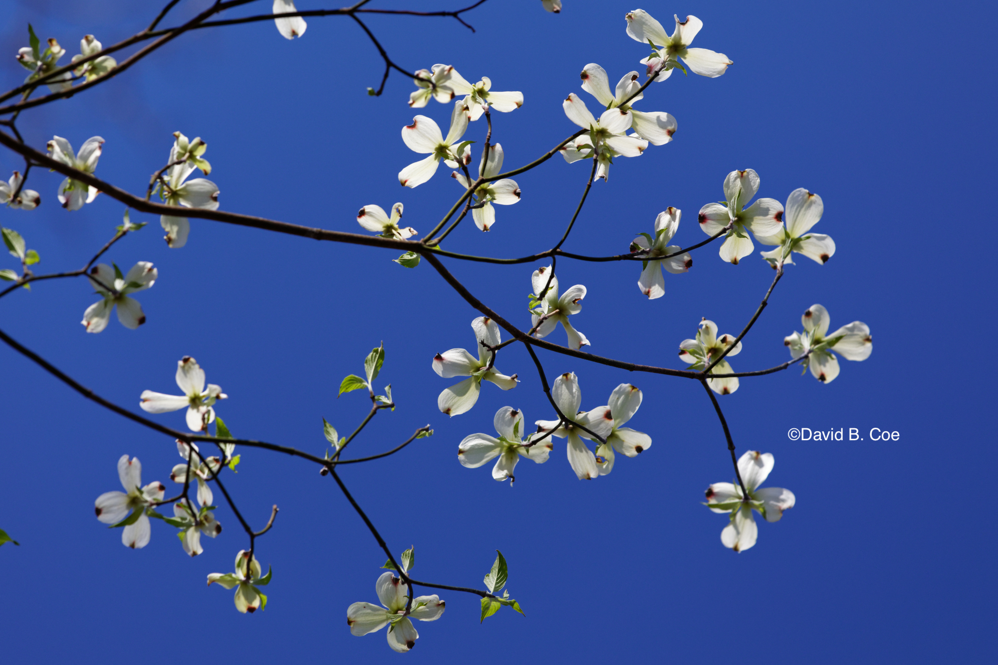 White Dogwood on Blue, by David B. Coe