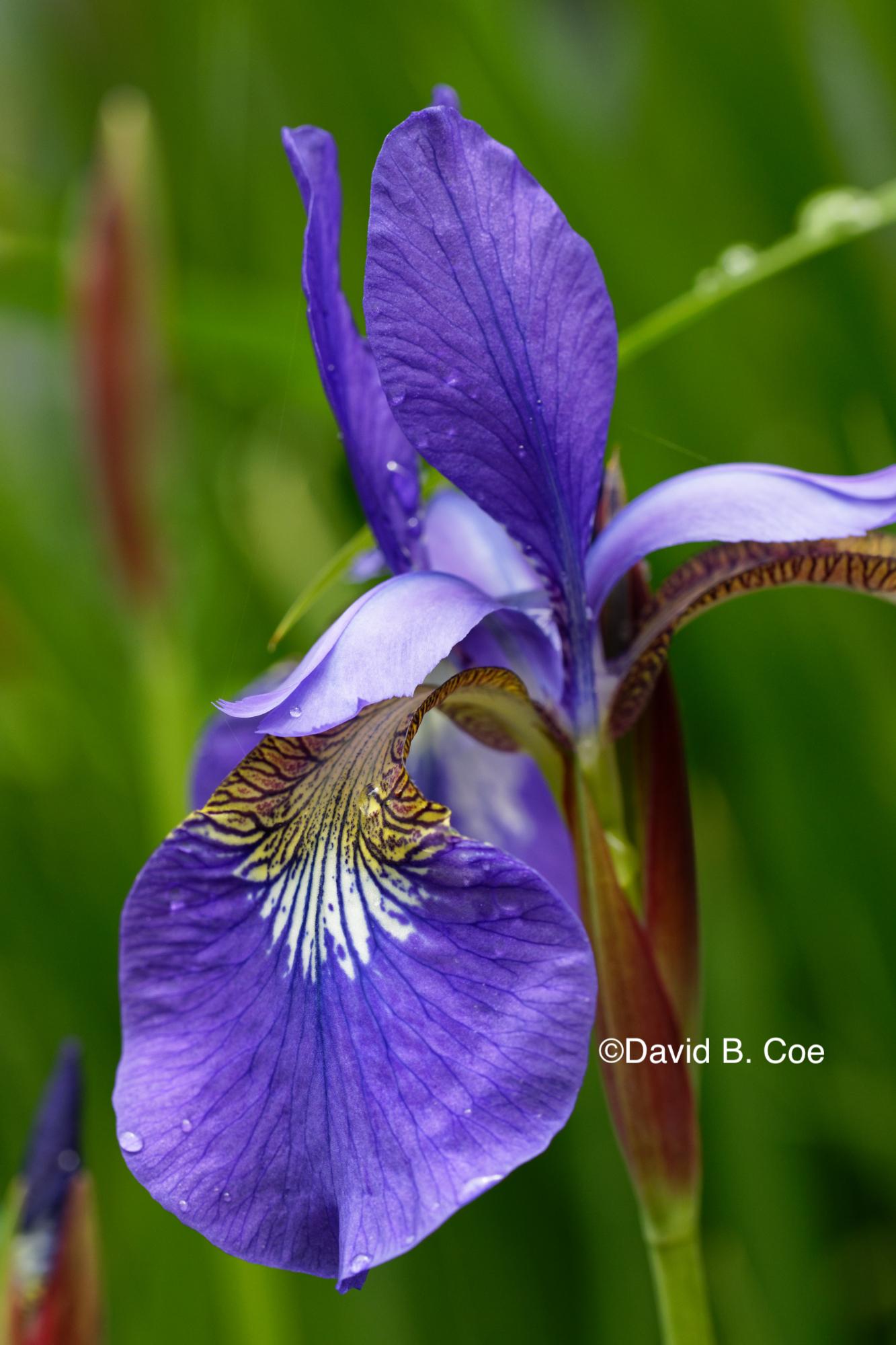 Japanese Iris II, by David B. Coe