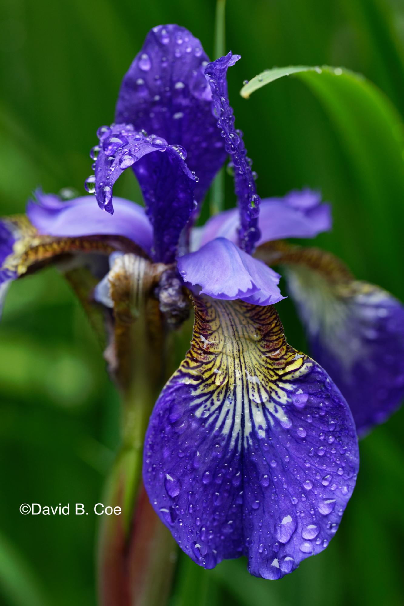 Japanese Iris IV, by David B. Coe