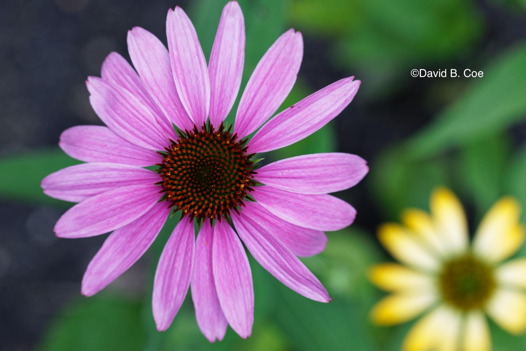 Echinacea, by David B. Coe