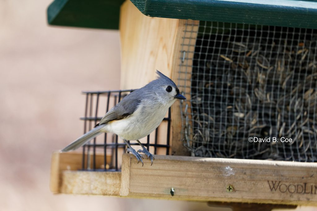 Titmouse on Feeder, by David B. Coe