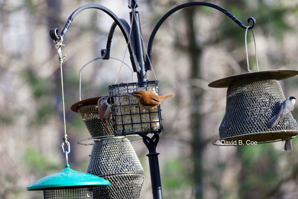 Wrens and Feeders, by David B. Coe