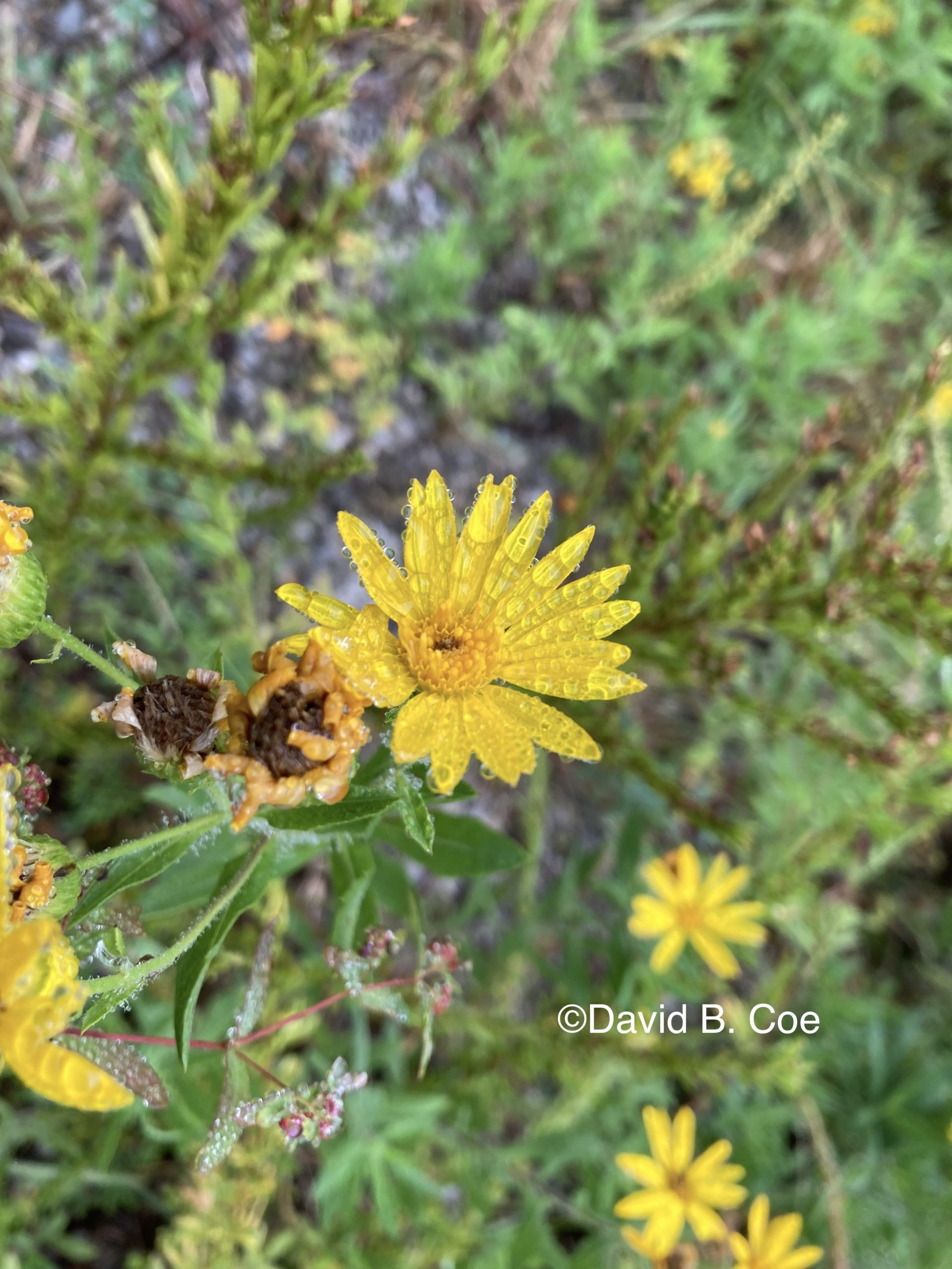 Fall Aster and Dew, by David B. Coe